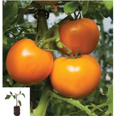 Beorange/Estamino Grafted Grafted Tomato Plants