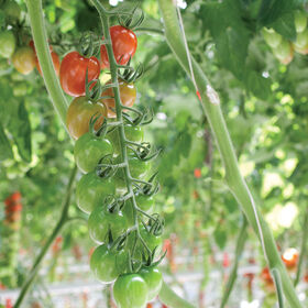 Pareso Grape Tomatoes