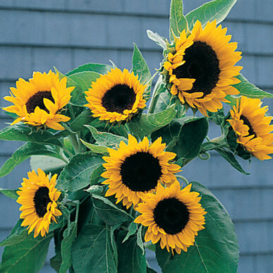 Sunbright - (F1) Sunflower Seed | Johnny's Selected Seeds