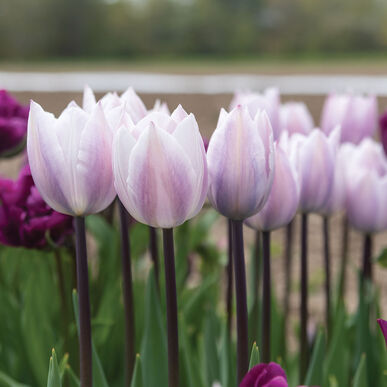 Candy Prince Tulips
