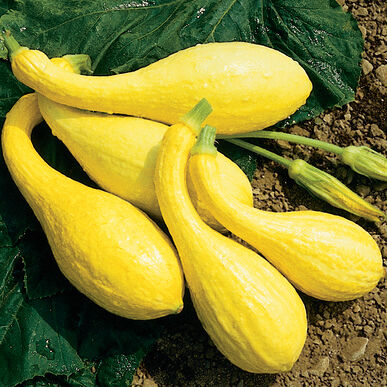 Yellow Crookneck Summer Squash