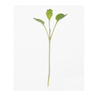 Kale, Toscano Microgreen Vegetables