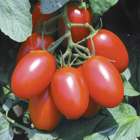 Juliet Paste Tomatoes
