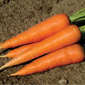 Hercules Main Crop Carrots