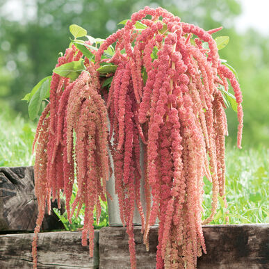 Coral Fountain Amaranthus