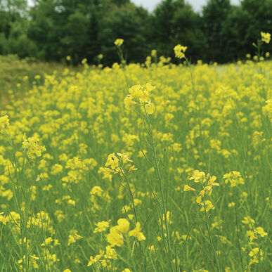 Mighty Mustard® Pacific Gold Mustards (Cover Crop)