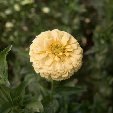 Giant Dahlia Flowered Creamy Yellow Zinnias