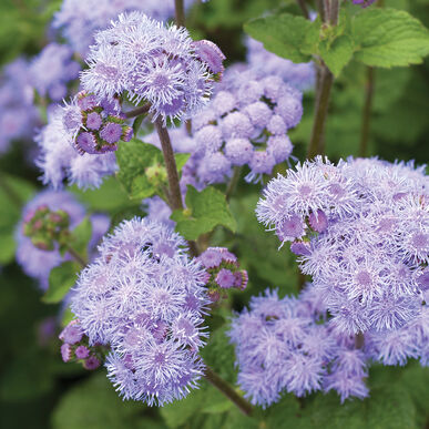 Tall Blue Planet Ageratum