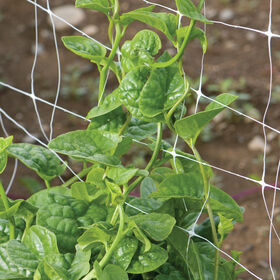 Green Malabar Spinach Specialty Greens