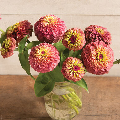 Queen Red Lime Zinnia Seed Johnny S Selected Seeds