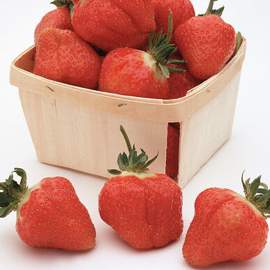 Cabot Strawberry Bare-Root Plants