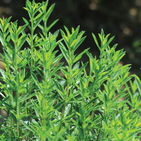 Winter Savory Savory