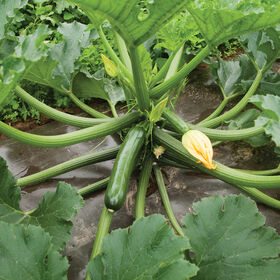 Green Machine Summer Squash