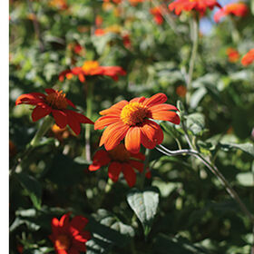 Mexican Sunflower Tithonia (Mexican Sunflower)