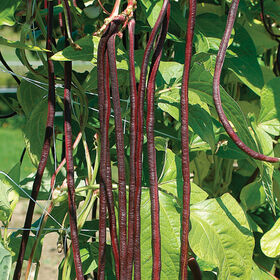 Red Noodle Pole Beans