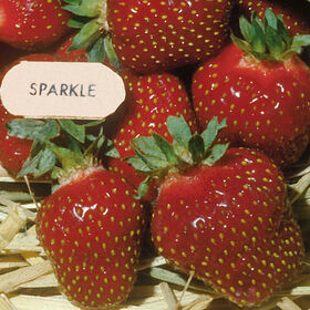 Sparkle Strawberry Bare-Root Plants