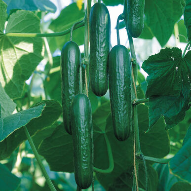 Socrates Seedless and Thin-skinned Cucumbers