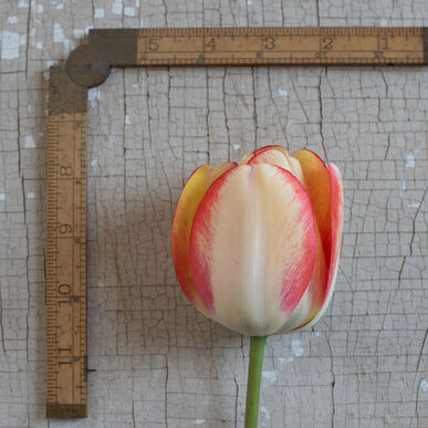 Beauty of Spring Tulips