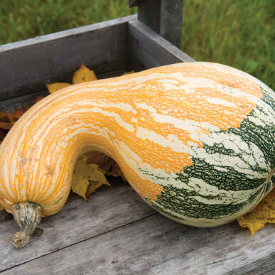 Autumn Colors Cushaw Specialty Pumpkins
