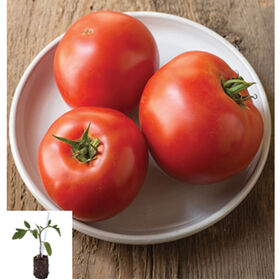 Big Beef/Estamino Grafted Grafted Tomato Plants