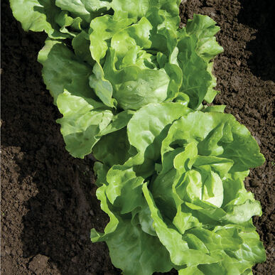 Nancy Butterhead Lettuce (Boston)