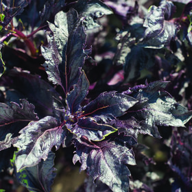Purple Ruffles Purple Basil
