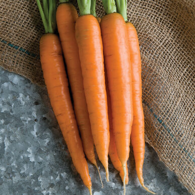 Nectar Main Crop Carrots