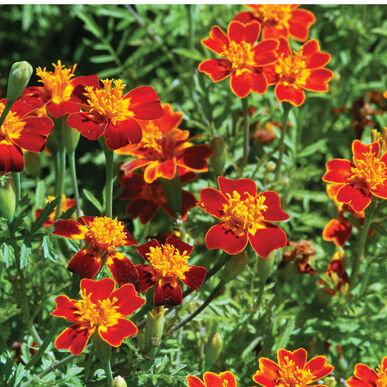 Red Gem Marigold