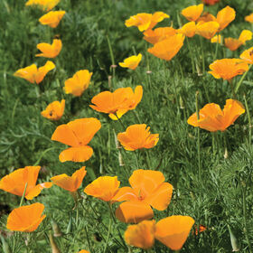 California Poppy Poppy