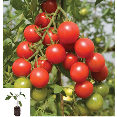 Maxifort Grafted Greenhouse Tomato Collection Grafted Tomato Plants