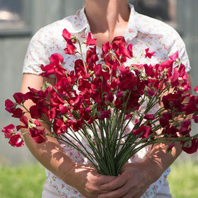 Elegance Deep Red Sweet Peas