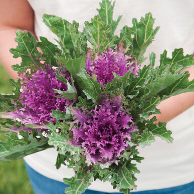 Crane Feather Queen Red Kale, Ornamental