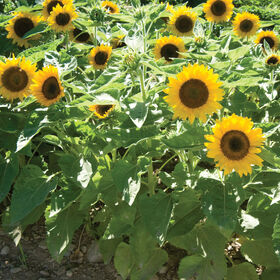 Big Smile Dwarf Sunflowers