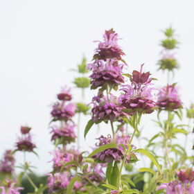 Lemon Mint Monarda (Bee Balm)