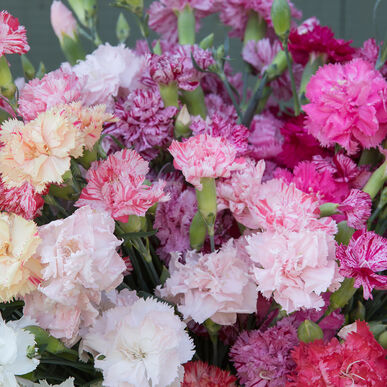 Chabaud Picotee Double Mix Dianthus (Sweet William)