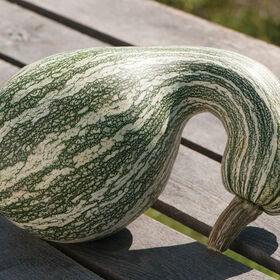 Green Striped Cushaw Specialty Pumpkins