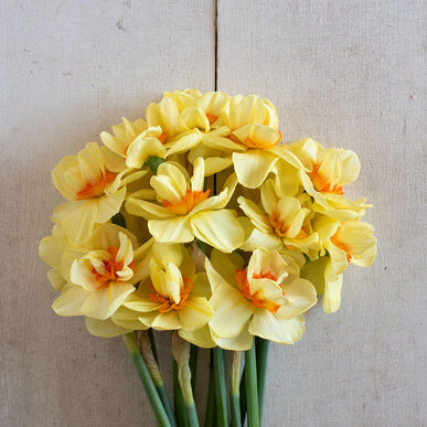 Double Fashion Narcissus