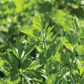Cutting Celery Herbs for Salad Mix