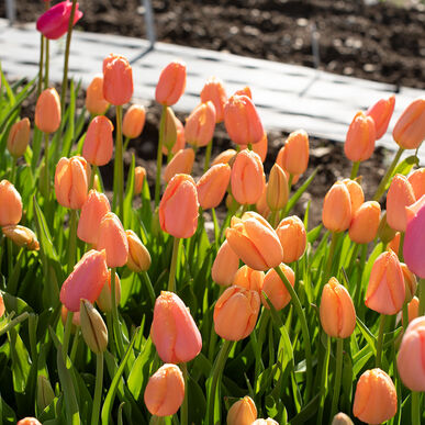 Dordogne Tulip Bulb Johnny S Selected Seeds