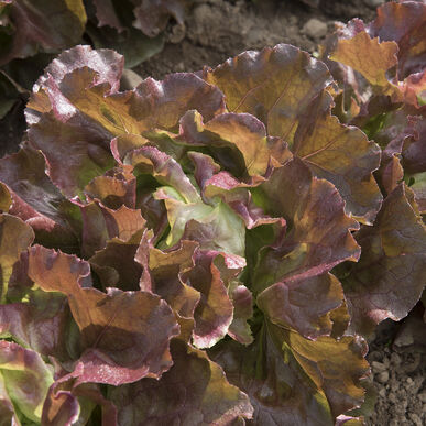 Skyphos Butterhead Lettuce (Boston)