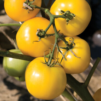 Taxi Specialty Tomatoes