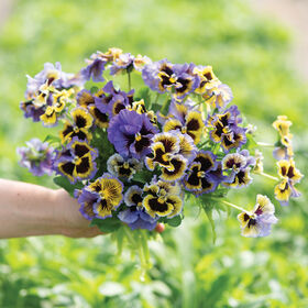 Frizzle Sizzle Yellow-Blue Swirl Viola (Pansy)