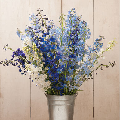 Belladonna Mix Delphinium