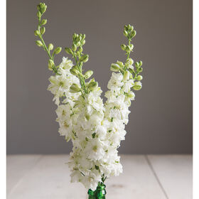Sublime White Larkspur