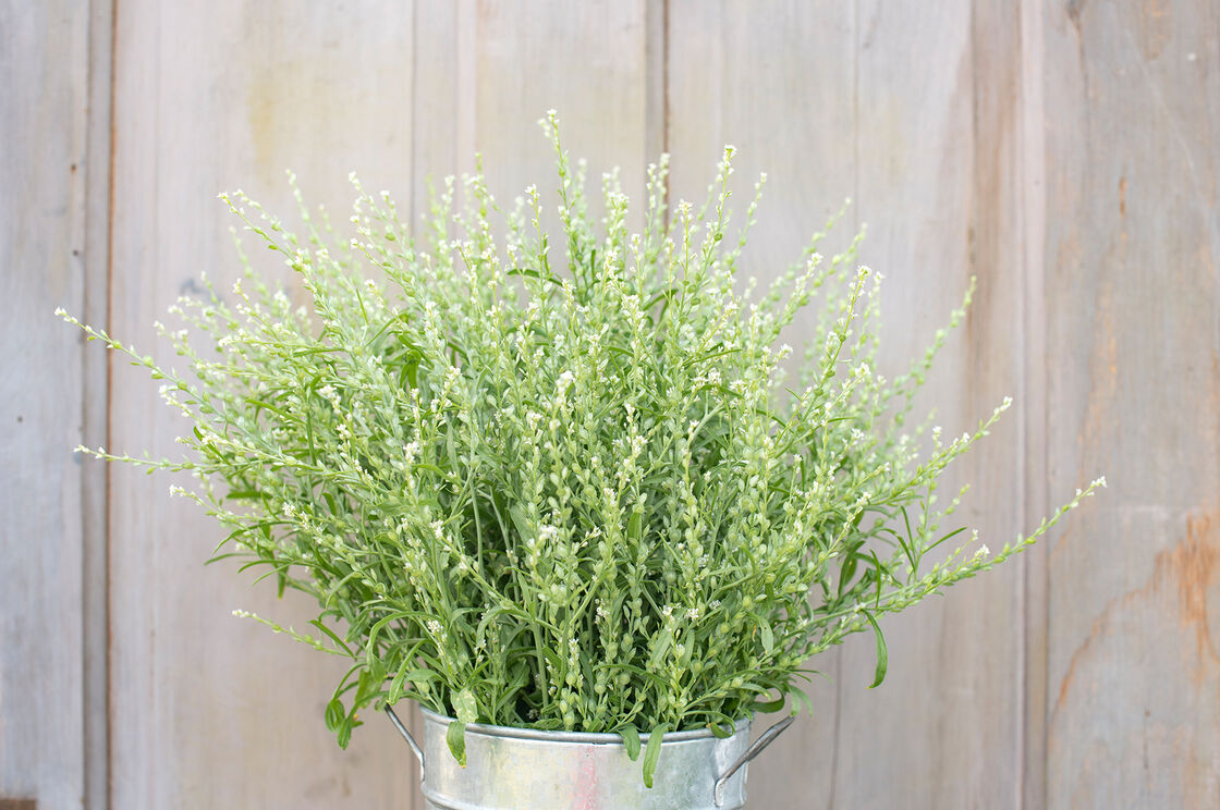 Cress punnets x 100 pack Batch. Ideal for grow your own cress