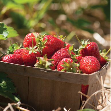Strawberry Plant Collection Strawberry Bare-Root Plants