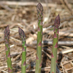Jersey Knight Asparagus