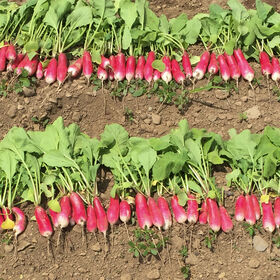 Nelson Long French Radishes