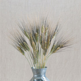 Black Tip Wheat Grasses, Ornamental