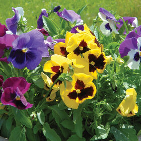 Majestic Giants II Formula Mix Viola (Pansy)